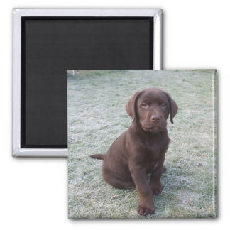 Cute brown labrador puppy fridge magnet