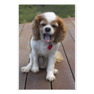 Cute Cavalier King Charles Spaniel Dog Yawning Photograph