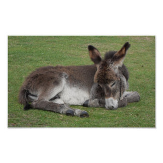 Cute chocolate donkey baby foal sleeping poster