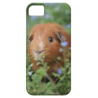 Cute cuddly ginger guinea pig outside on grass iPhone 5 covers