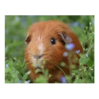 Cute cuddly ginger guinea pig outside on grass postcard