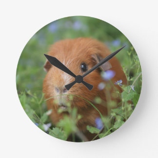 Cute cuddly ginger guinea pig outside on grass wallclock