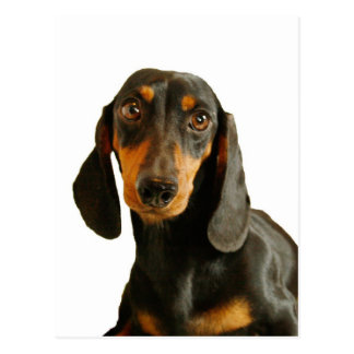 Cute Dachshund ( Miniature Brown Short Haired ) Postcard