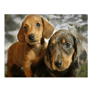 Cute Dachshund Puppies (Brown/Black) Postcard