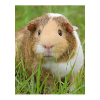 Cute Domestic Guinea Pig 21.5 Cm X 28 Cm Flyer