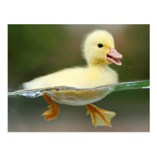 Cute duck Chick Postcard