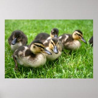 Cute Ducklings Poster