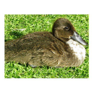 Cute Ducky Postcard