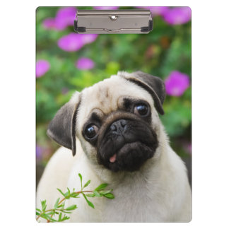 Cute Fawn Colored Pug Puppy Dog Portrait Photo - Clipboard