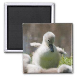 Cute fluffy cygnet baby swan magnet, present magnet
