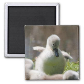 Cute fluffy cygnet baby swan magnet, present square magnet