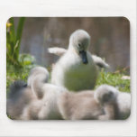 Cute fluffy cygnet baby swan mousepad,  gift