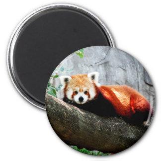 cute funny animal red panda magnet