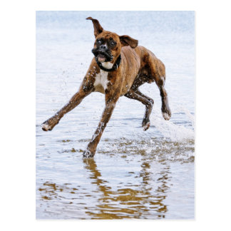 Cute funny boxer dog postcard