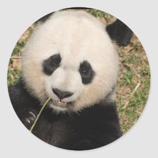 Cute Giant Panda Bear Round Sticker