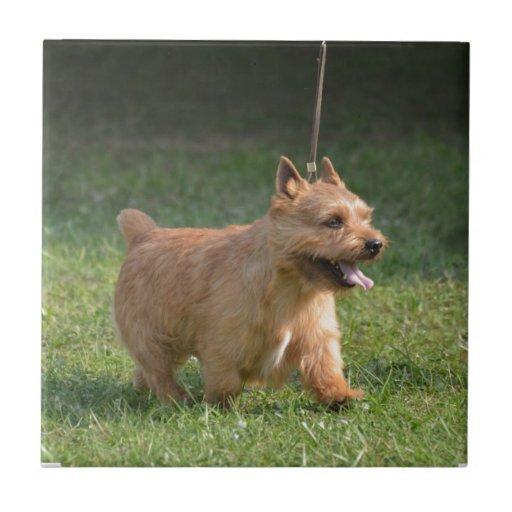 Cute Glen of Imaal Terrier Tiles