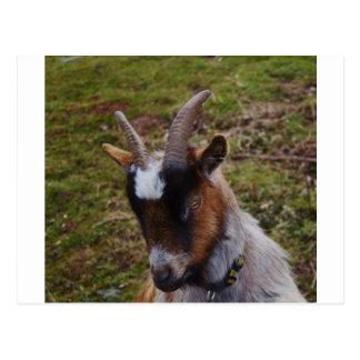 Cute Goat. Postcard