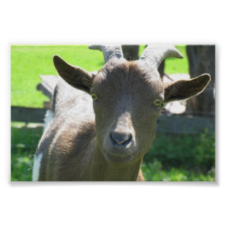 Cute Goat Posters