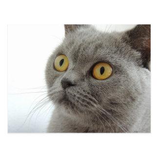 Cute Gray Cat Postcard