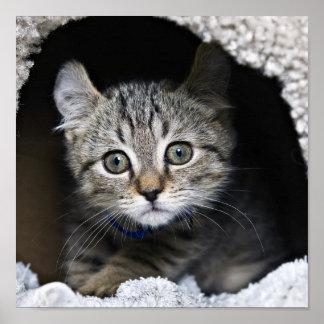 Cute Highland Lynx Kitten Poster