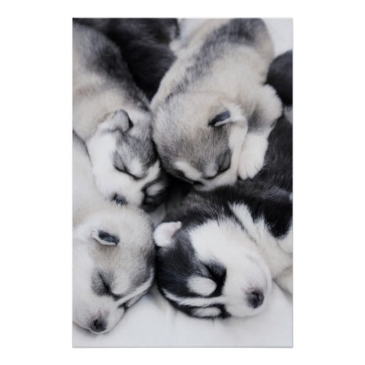 cute husky puppies posters