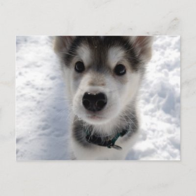 Husky Puppies on Has An Adorable Colour Photo Of A Husky Puppy Standing In The Snow