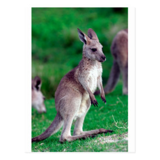 Cute joey baby Kangaroo Post Cards