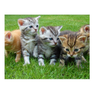 Cute kittens sitting in grass post cards
