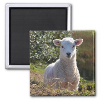 Cute Lamb Magnet