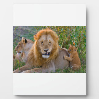 Cute Lion Cub Playing With Dad, Kenya Plaque