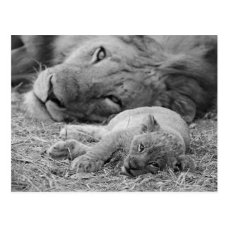 Cute Lion Cub Resting With Father Postcard
