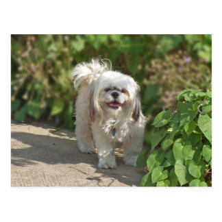Cute Little Shih Tzu Puppy Dog Photo Postcard