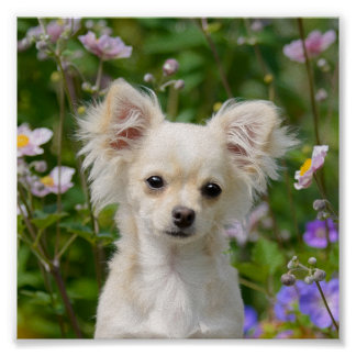Cute long-haired cream Chihuahua Dog Puppy Photo - Poster