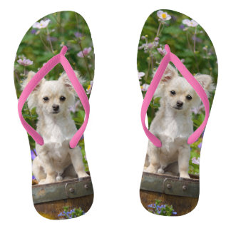 Cute long-haired cream Chihuahua Dog Puppy Photo - Thongs