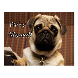Cute loveable pug We've Moved New Address Postcard