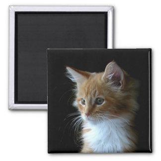 Cute Maine Coon kitten magnet