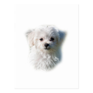 Cute Maltese Dog Postcard