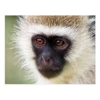 Cute monkey portrait postcard