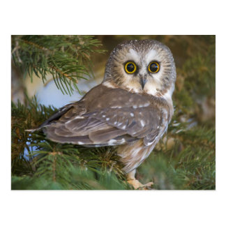 Cute Owl on fir tree Postcard