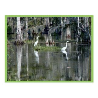 Cute Pair Of Louisiana Herons In Water Near Morgan Postcard