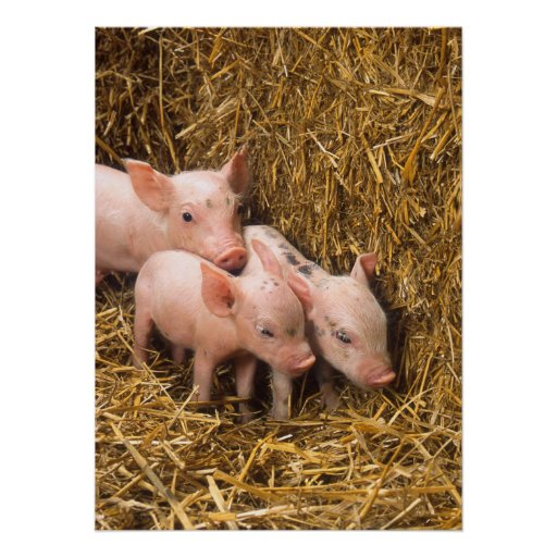 Cute Pigs Poster