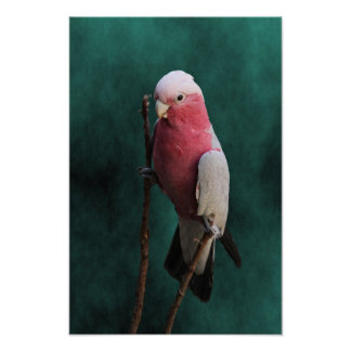 Cute Pink and Gray Galah Bird Poster