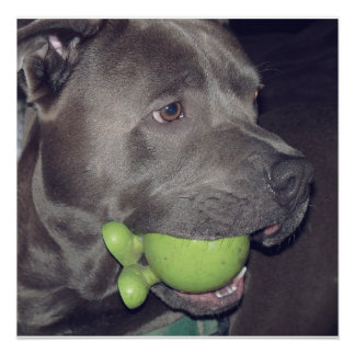 Cute  Pit Bull Terrier with Ball Poster