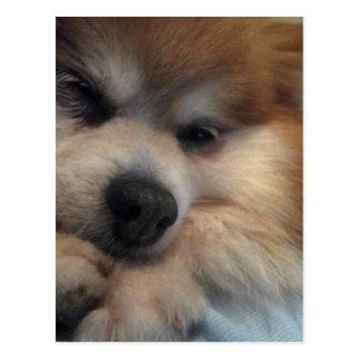 Cute Pomeranian POSTCARD