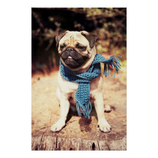 Cute Pug Dog Portrait with Blue Scarf Poster
