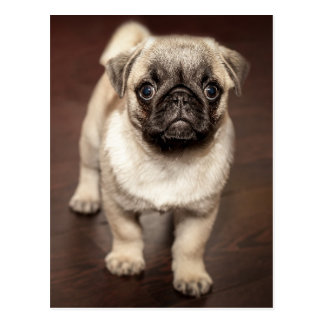 Cute Pug Puppy Postcard