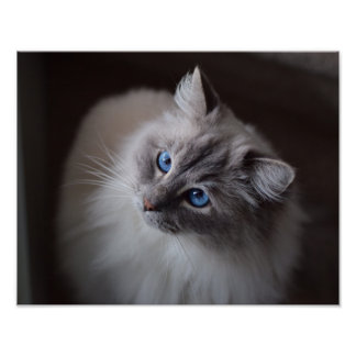 Cute Ragdoll Cat Blue Eyes Poster Print