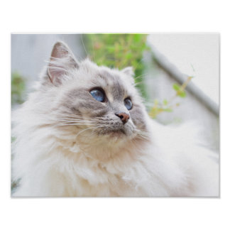 Cute Ragdoll Cat Poster Print