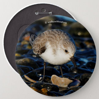 Cute Sanderling Dining on Tasty Clam 6 Cm Round Badge