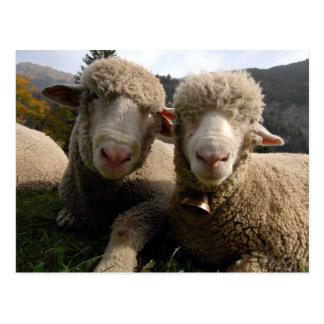 Cute Sheep Post Card